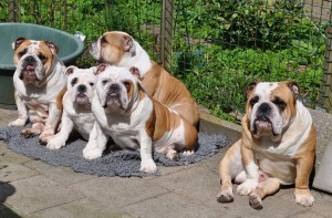 Engelse Bulldog familie in de zon