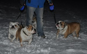 Bulldogs having fun in the snow