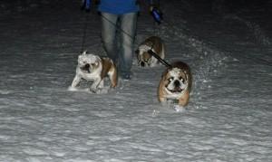 sneeuwpret voor de bulldoggen