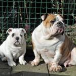 Glimmer Friends Shake Your Hips bulldog female